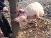 Chuyện lạ - TQ: Hãi hùng bé 2 tuổi tử vong vì bị lợn nái tấn công