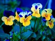 Cây cảnh - Vườn - Vườn nhà mùa đông đẹp mê ly với hoa Păng xê