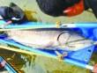 Tin tức - TQ: Bắt được cá tầm khổng lồ dài 3,3 mét trên sông
