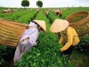 Kinh nghiệm mua - Tin đồn trà nhiễm dioxin và âm mưu ép bán giá cao