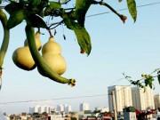 Cây cảnh - Vườn - Hà Nội: Vườn hồ lô sân thượng hiếm có trên phố Bạch Mai