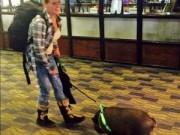 Tin tức - Lợn bị đuổi khỏi máy bay vì khiến hành khách sợ hãi