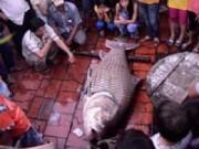 """Tin tức - Vĩnh Long: Dân ùn ùn đi xem cá hô """"khủng"""""""