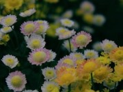 Tin tức - Hà Nội đẹp ngỡ ngàng mùa hoa cúc chi