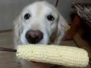 Clip Eva - Chú chó gặm ngô siêu dễ thương