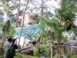 Tin tức - Đà Lạt: Thông gãy trong bệnh viện, 4 người bị thương
