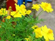 Nhà đẹp - Trồng hoa cánh bướm rập rờn thắm trời thu