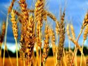 Làm mẹ - Truyện cổ tích: Cây lúa mạch