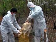Cảnh báo nguy cơ bùng phát dịch cúm gia cầm dịp cuối năm