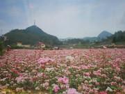 Ngắm sắc màu hoa tam giác mạch ở Hà Nội