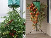 Nhà đẹp - Nhà nhỏ trồng cà chua treo ngược cho trái sai lúc lỉu