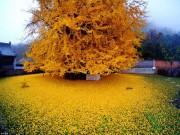 Nhà đẹp - Mùa thu vàng ruộm dưới gốc cây ngân hạnh 1400 tuổi