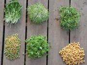Nhà đẹp - 8 mẹo trồng rau mầm gieo lứa nào, gặt lứa đấy