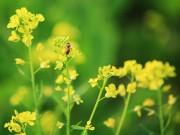 Tin tức - Hà Nội rực vàng mùa hoa cải