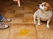 Nhà đẹp - Các bước khử sạch mùi nước tiểu của chó trong nhà