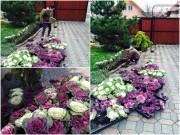 Nhà đẹp - Mẹ Việt trồng bắp cải trong vườn, sang chẳng kém hoa hồng