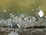 """Tin tức - Cá chết trắng Hồ Tây: """"Nước có thể nhiễm kim loại nặng"""""""