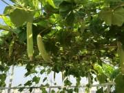 Nhà đẹp - Vườn cây tốt um, sai trĩu trên sân thượng của gia đình HN