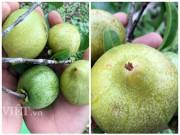 Nhà đẹp - Thòm thèm vị chua ngọt của trái bứa rừng