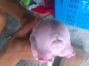 Tin tức - Xôn xao 'quái vật' lợn hai đầu ở Nghệ An