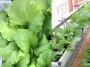 Nhà đẹp - Ông bố Hải Dương mách nhỏ cách trồng rau trong chậu ăn cả năm chả hết