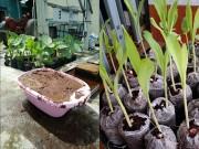 Nhà đẹp - 8X Sài thành trồng rau lên mơn mởn từ xơ dừa tại nhà