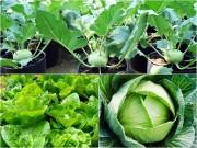 Nhà đẹp - Những loại rau củ chị em nên trồng để vẫn đủ rau ăn cho mùa đông lạnh giá