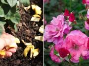Nhà đẹp - Đừng bỏ vỏ chuối đi vì đây là thuốc kích phọt cho vườn hồng nở rực rỡ