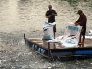 """Mua sắm - Giá cả - """"Cò cá"""" bắt tay thương lái Trung Quốc lùng sục mua cá tra non"""