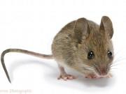 Nhà đẹp - Làm theo 3 cách này, đảm bảo nhà bạn sẽ không còn bóng dáng một con chuột