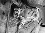 Tin tức - Xót xa chú hổ nặng 300kg bị cắt tiết, nấu cao
