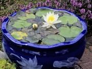Nhà đẹp - Hoa súng trồng trong chậu, vừa đơn giản vừa đẹp