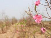 Tin tức - Vì sao còn hơn một tháng nữa mới đến Tết, đào đã nở?