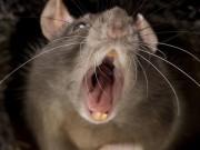Làm mẹ - Mẹ bỏ đi chơi, bé sơ sinh 3 tháng ở nhà một mình bị chuột khổng lồ cắn tử vong