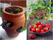 Nhà đẹp - Cơn sốt trồng dâu tây trong chậu cho quả suốt mùa