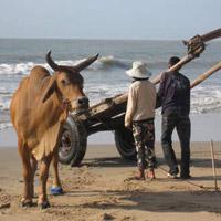 Độc đáo bò kéo thúng ở biển Cam Bình