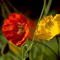 10 loài hoa không có lợi cho sức khỏe