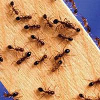 Mẹo diệt kiến không dùng hoá chất