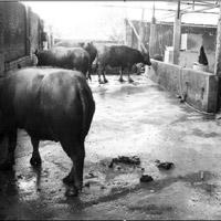 Lò mổ gia súc ở Hà Nội: Bung bét phân lẫn thịt