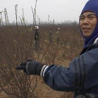 Làng đào Nhật Tân phấp phỏng canh hoa chờ Tết