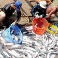 Mua sắm - Giá cả - Mất tết vì cá tra