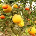 Tin tức - Kỳ lạ 1 cây cho 5 loại quả khác nhau