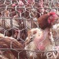 Tin tức - Ngày Tết, tránh xa gà thải TQ chứa đầy kháng sinh