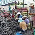 Tin tức - Trung Quốc lại đổ xô thu gom khoai lang