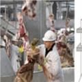 Tin tức - Thịt bò Mỹ cũng nhiễm... E.coli