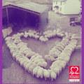 Tin tức - Độc đáo 100 con cừu xếp thành hình trái tim