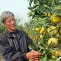 Mua sắm - Giá cả - Thăm vườn cây 7 loại quả của lão nông Hà Nội