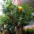 Tin tức - Cận cảnh cây phật thủ giá 15 triệu ở HN
