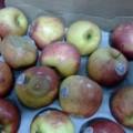 Mua sắm - Giá cả - Phát hiện gần 1 tấn táo nhập khẩu từ Mỹ thối hỏng