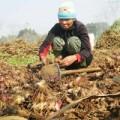 Mua sắm - Giá cả - Miến chuộng bột Tàu, dân trồng dong mất Tết